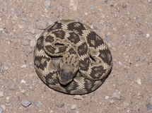 Black-tailed rattlesnake Stock Images