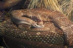 Black tailed rattlesnake Stock Photography