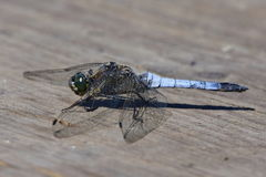 Black tailed skimmer royalty free stock photo