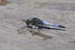 Black tailed skimmer stock photography