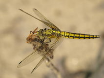 Black-tailed skimmer, dragonfly Royalty Free Stock Image