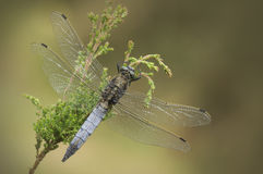Black-tailed Skimmer Dragonfly Stock Images