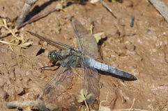 Black-Tailed Skimmer Stock Photos