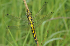 Black-Tailed Skimmer Royalty Free Stock Image