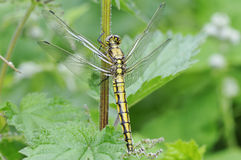 Black-Tailed Skimmer Royalty Free Stock Photos