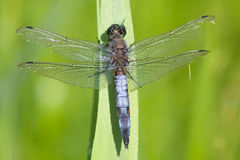 A Black Tailed Skimmer dragonfly resting in the sun. royalty free stock photos