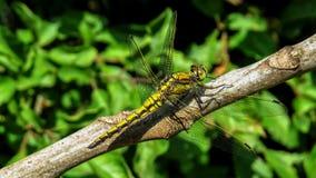 Black-tailed skimmer dragonlfy - Royalty Free Stock Photography