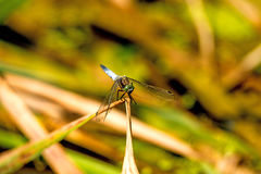 Black-tailed skimmer, European dragonfly Royalty Free Stock Photography