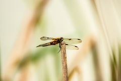 Black-tailed skimmer, European dragonfly Stock Photos