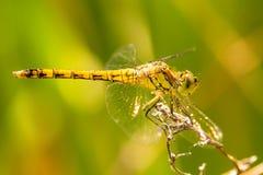 Black-tailed skimmer, Orthetrum cancellatum. Female royalty free stock images