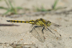 Black-tailed skimmer, Orthetrum cancellatum. Jung male Black-tailed skimmer, Orthetrum cancellatum Royalty Free Stock Image