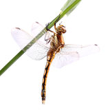 Black-tailed skimmer (Orthetrum cancellatum) Stock Photos