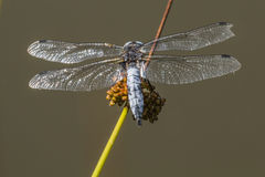 Black-tailed skimmer (Orthetrum cancellatum) Stock Images