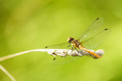 Black-tailed skimmer sitting on a grass Royalty Free Stock Images