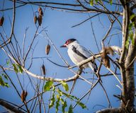 Black tailed tityra looking left in Pantanal Royalty Free Stock Photos