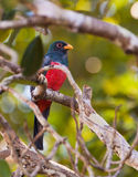 Black-tailed Trogon 图库摄影