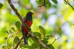 A Black-tailed Trogon Stock Photography