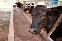 Free Black Tajima Cattle Cow - Beef Cow Farm In Phu Phan, Sakon Nakhon - Thailand Stock Images - 188940084