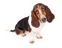Black and Tan Basset Hound Looking Forward Stock Photos