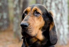Black and Tan Bloodhound Dog. Hunting dog, Walton County Animal Control, humane society adoption photo, outdoor pet photography Stock Photos