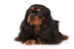 Black and tan cavalier king charles spaniel dog Stock Photo