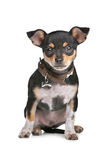 Black and Tan Chihuahua. In front of a white background royalty free stock photo