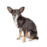 Black and Tan Chihuahua Dog Sitting on White Royalty Free Stock Image