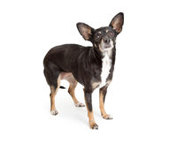 Black and Tan Chihuahua Dog on White Royalty Free Stock Images