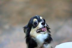Black tan chihuahua. Pet dog Royalty Free Stock Image