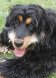 Black and Tan cocker spaniel pup stock photos