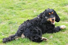 Cocker spaniel in a Dublin field stock images