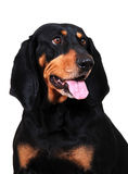 Black and Tan Coonhound. Portrait, on white background stock photos