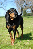 Black and Tan Coonhound. Portrait, outdoors stock images