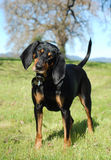Black and Tan Coonhound. Outdoor portrait of an American Black and Tan Coonhound royalty free stock image