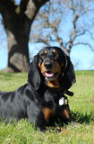 Black and Tan Coonhound. Outdoor portrait of an American Black and Tan Coonhound stock images