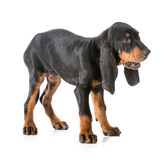 Black and tan coonhound. Barking on white background royalty free stock photos
