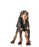 Black and tan coonhound Stock Photos