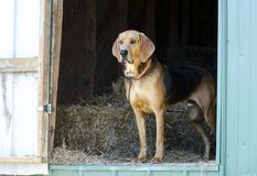Black and Tan Coonhound hound dog in hay barn. Black and Tan Coonhound hunting dog in straw barn on farm. Male, neutered, large floppy ears like a Bloodhound or royalty free stock images