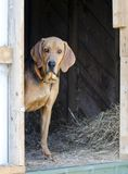 Black and Tan Coonhound hound dog in hay barn. Black and Tan Coonhound hunting dog in straw barn on farm. Male, neutered, large floppy ears like a Bloodhound or stock image