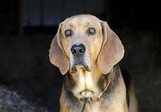Black and Tan Coonhound hound dog in hay barn. Black and Tan Coonhound hunting dog in straw barn on farm. Male, neutered, large floppy ears like a Bloodhound or stock images