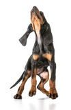 Black and tan coonhound. Jumping up on white background stock photography