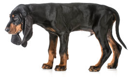 Black and tan coonhound. Puppy on white background royalty free stock photos