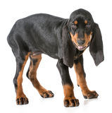 Black and tan coonhound Royalty Free Stock Images