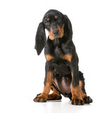 Black and tan coonhound. Sitting on white background stock photos
