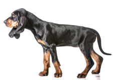 Black and tan coonhound. Standing on white background stock image