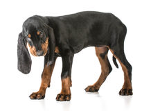 Black and tan coonhound. Standing on white background royalty free stock photography