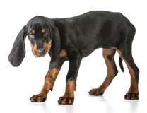 Black and tan coonhound Stock Photo