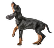 Black and tan coonhound. Walking looking up on white background royalty free stock image