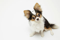 Black and tan cream long coated Chihuahua  over white background Stock Photo