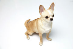Black and tan cream long coated Chihuahua  over white background. Black and tan cream long coated Chihuahua isolated sitting looking up isolated over white Stock Photo